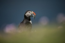 Shetland Puffin with fish