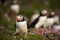 Shetland Puffins amongst sea thrift