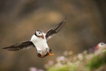 Shetland Puffin coming into land