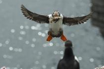 Shetland Puffin landing