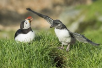 Shetland Puffin & chick known as puffling