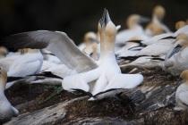 Gannets Hermaness Shetland.