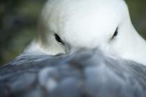 Fulmar, Shetland Isles