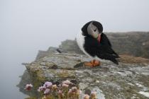Shetland puffins