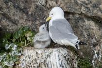 Kittewakes, Shetland Isles