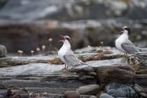 Arctic tern chicks, Shetland Isles