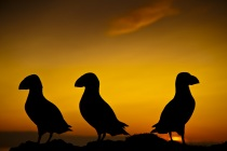 Silhouetted Puffins (Fratercula arctica) at sunset on Fair Isles