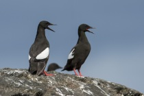 Black Guillemots, Shetland Islands
