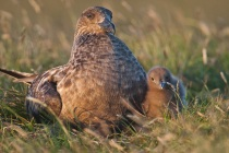 Great Skua, Hermaness, Shetland