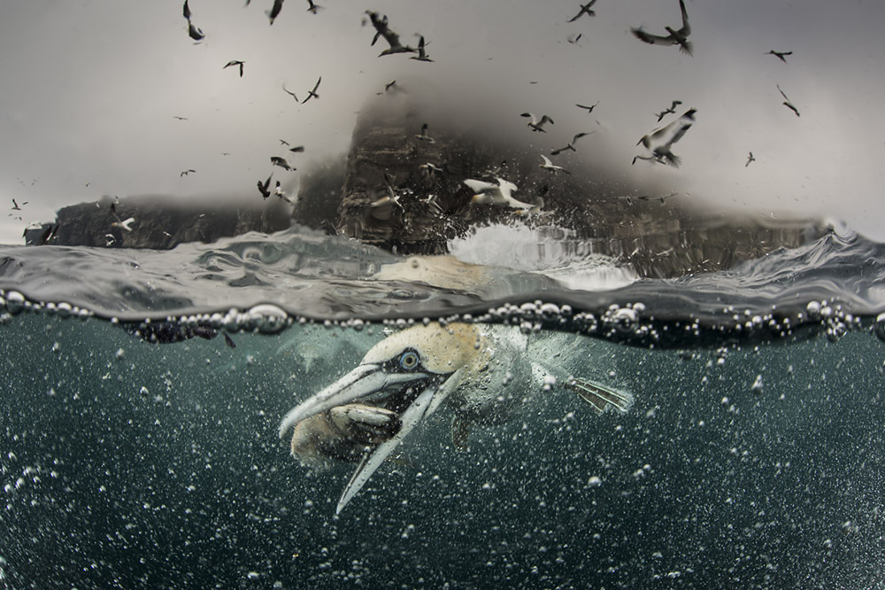 Underwater gannets, Shetland Islands, Shetland, Northern Gannets, underwater, photography