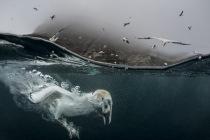 Underwater gannets, Shetland Islands