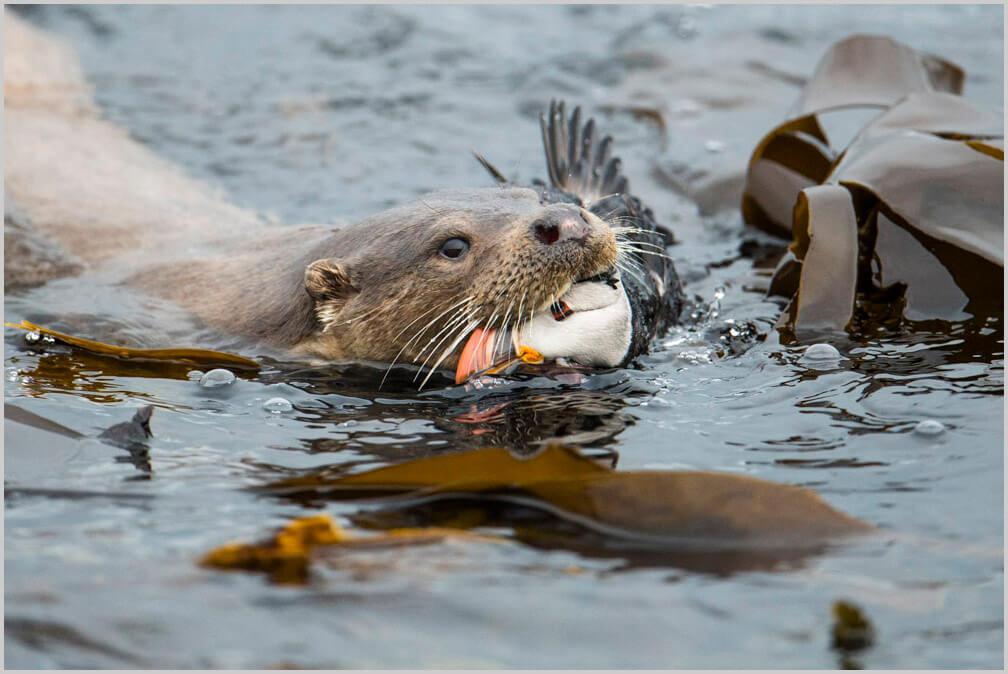 otter, Shetland otter, otter watching, shetland nature, shetland wildlife. Shetland otter watching, otters in Shetland, Shetland otter