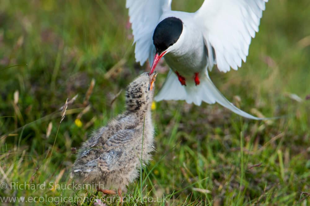 Shetland seabirds, Shetland nature, nature in Shetland, gannets, puffin, kittewake, Shetland images, Shetland photography, seabirds, seabird ecology, Shetland wildlife, Arctic tern