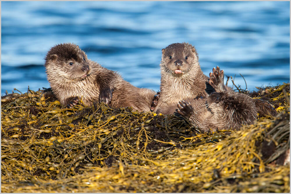 Shetland otters, Otter in Shetland, Shetland Otter Photography, Photography