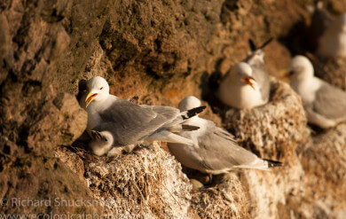 Shetland seabirds, Shetland nature, nature in Shetland, gannets, puffin, kittewake, Shetland images, Shetland photography, seabirds, seabird ecology, Shetland wildlife