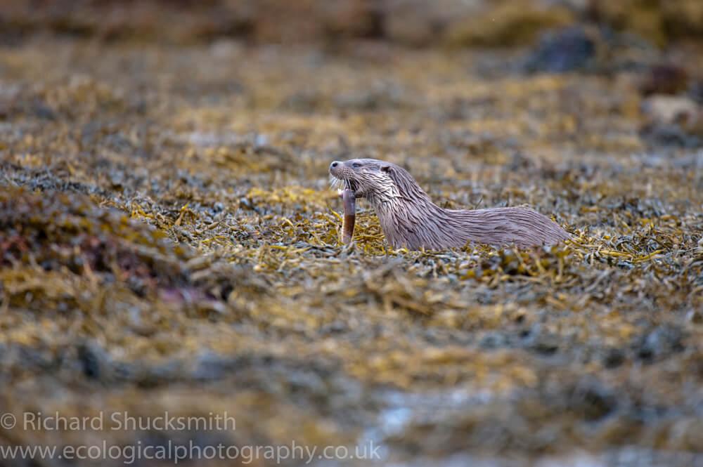 Shetland otter, photographing shetland otter, otter ecology, Shetland otter watching, photographing shetland otters, otters in shetland