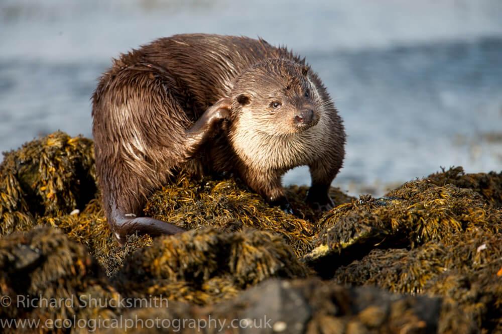 Shetland otter, photographing shetland otter, otter ecology, Shetland otter watching, photographing shetland otters, otters in shetland, otter ecology, ecology, Lutra lutra, Eurasian otter, European otter