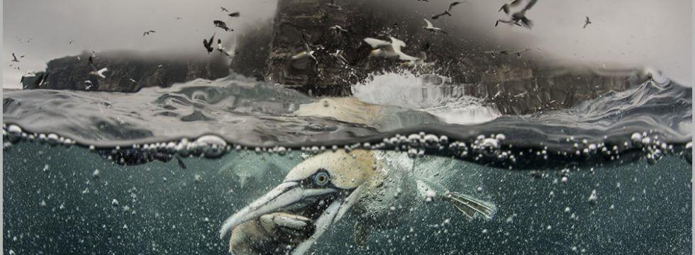 Shetland seabirds, Shetland photo tours, Shetland photography, gannets, Shetland gannets