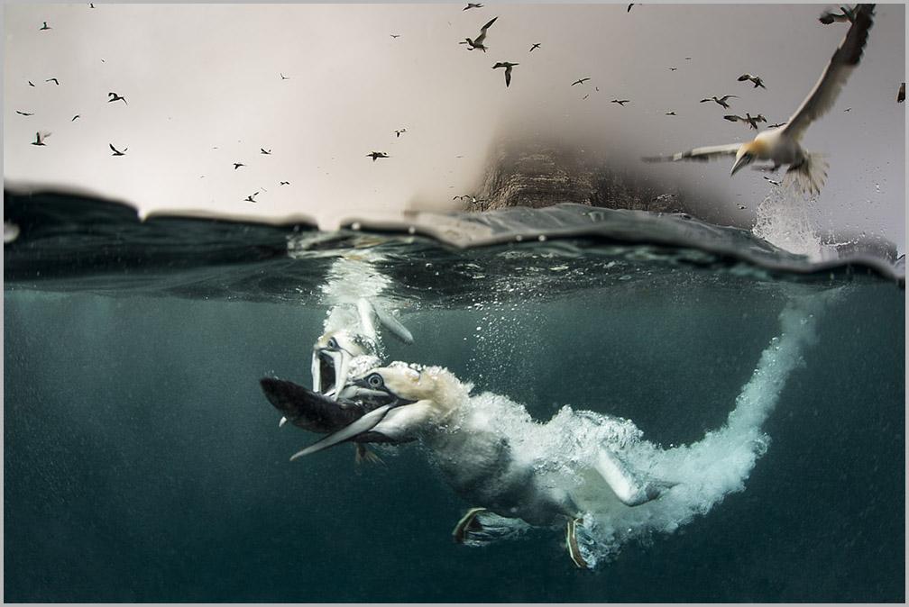 Gannnets, underwater gannets, Shetland, diving, seabirds
