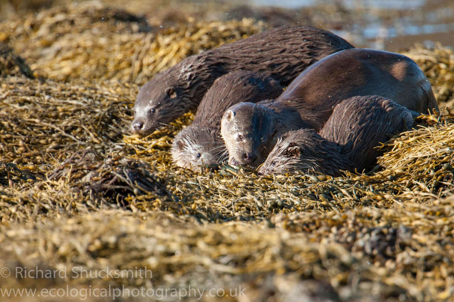 Shetland otter and cubs