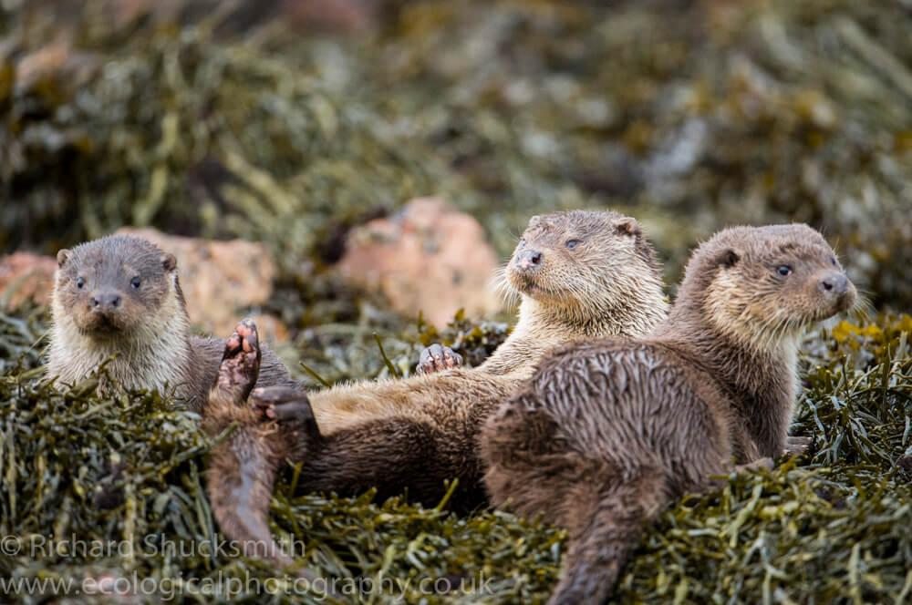 Shetland otters along the Shetland coast