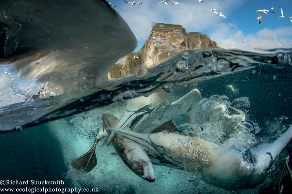 Underwater gannets, Shetland gannets, Gannet photography, BWPA, Shetland Isles, wildlife photography, nature photography, Shetland Wildlife photography, awards, Highly Commended, Photography Awards