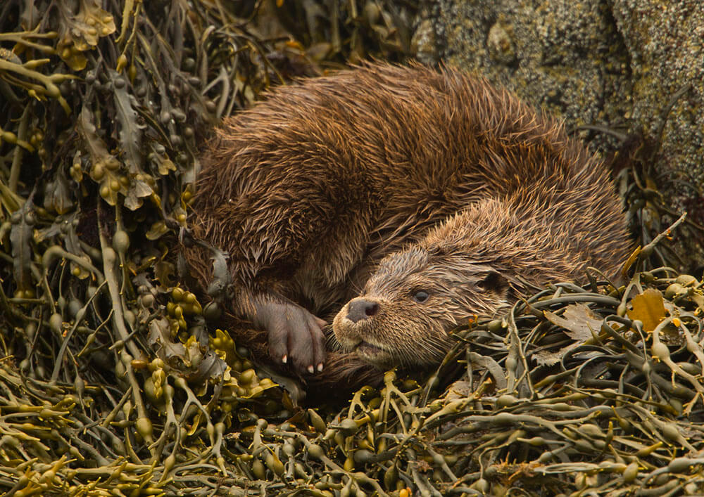 Shetland otter, otter photography, BWPA, Shetland Isles, wildlife photography, nature photography, Shetland Wildlife photography, awards, Highly Commended, Photography Awards