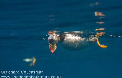 Puffin, Shetland photography, puffin photography, Shetland Isles, Atlantic puffin, Fratercula arctica, Noss, National Nature Reserve , Underwater, puffin swimming underwater