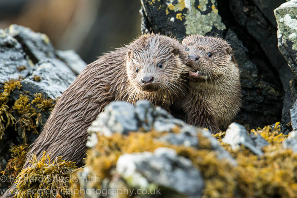 Lutra lutra, Northern Isles, Otter, Otter in Shetland, Otters, Shetland Islands, Shetland otter