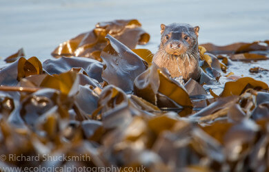 Shetland otters, Lutra lutra, Northern Isles, Otter, Otter in Shetland, Otters, Shetland Islands, Shetland otter