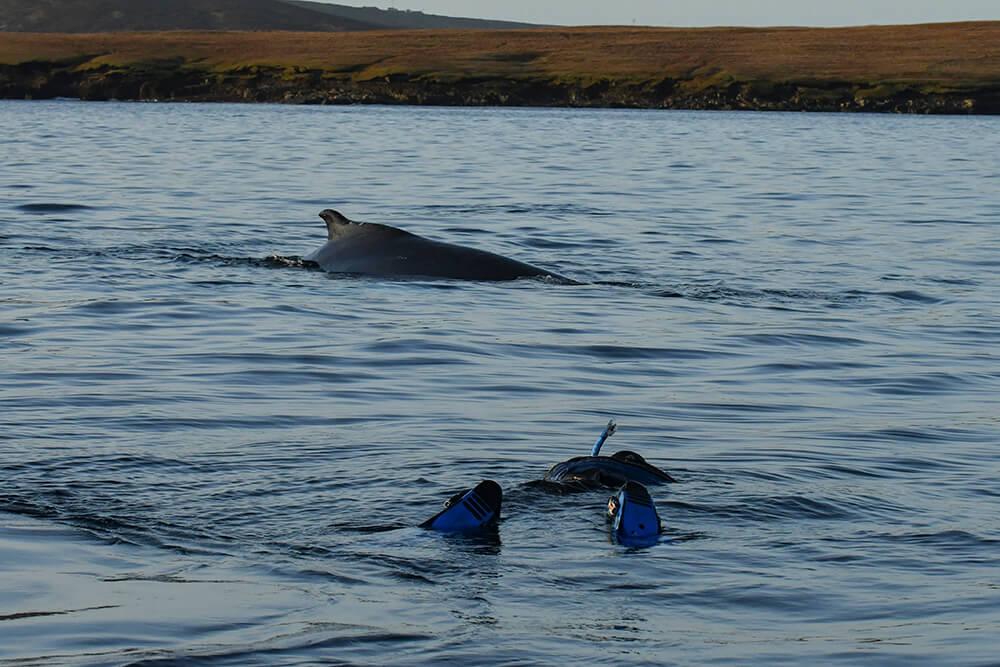 Humpback whale, Shetland, Shetland Isles, marine mammal