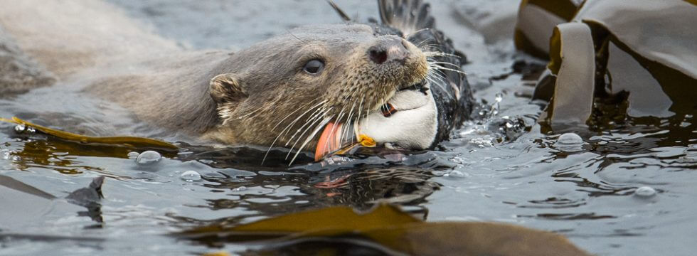 bird, Eurasian otter, European otter, feeding, Lutra lutra, mammal, Mustelid, Mustelidae, Northern Isles, Otter, Otter in Shetland, Otters, predation, prey, Puffin, Scotland The Big Picture, seabird, Shetland Islands, Shetland Isles, Shetland otter