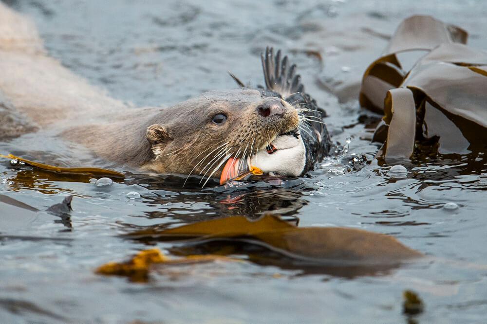 bird, Eurasian otter, European otter, feeding, Lutra lutra, mammal, Mustelid, Mustelidae, Northern Isles, Otter, Otter in Shetland, Otters, predation, prey, Puffin, Scotland The Big Picture, seabird, Shetland Islands, Shetland Isles, Shetland otter