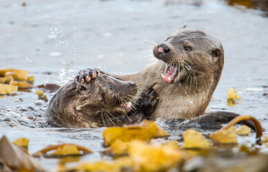 Shetland otters, otter, cub otters in shetland, photographing otters